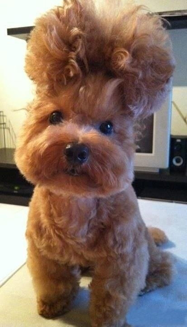 hair dog